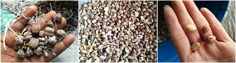castor seeds produced in Nigeria