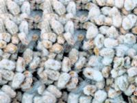 cottonseed for cottonseed oil processing