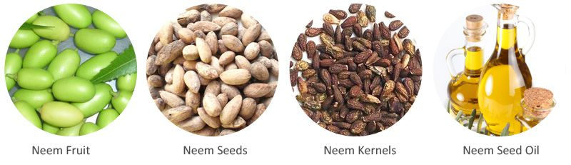 neem seed and neem oil