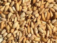 neem seed for oil extraction