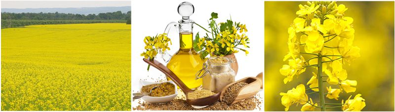 rapeseed oil from rapeseed