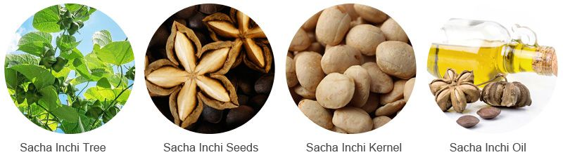 Sacha Inchi Seeds and Sacha Inchi Oil