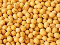 soybeans for soybean oil making